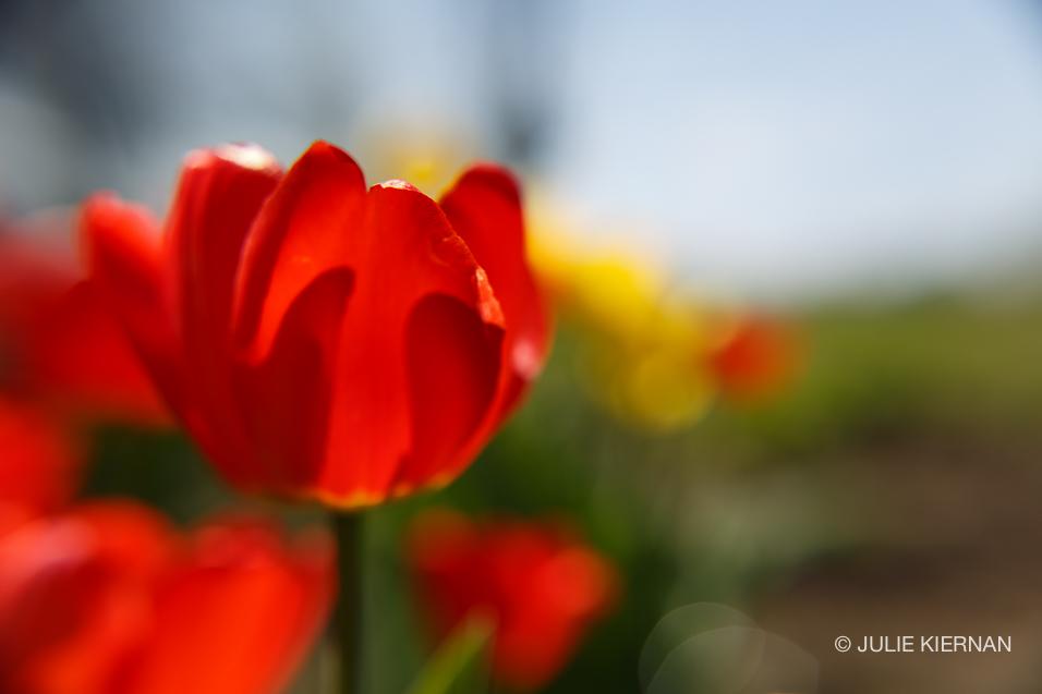 Sue-Tulips-4235.jpg