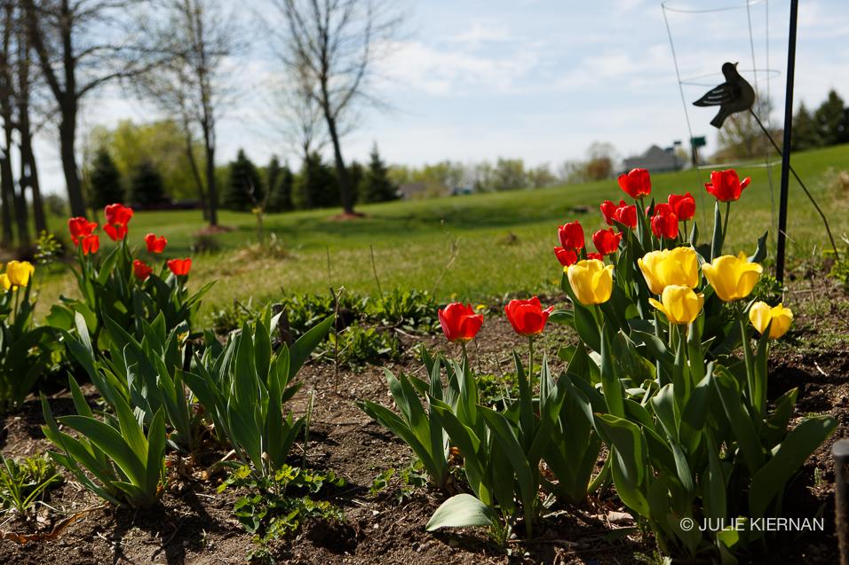 Sue-Tulips-4251.jpg