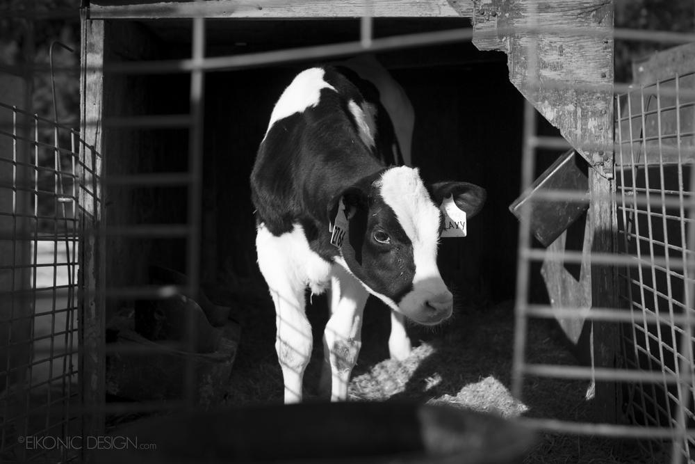 cowfarm_SML_91A9217.jpg