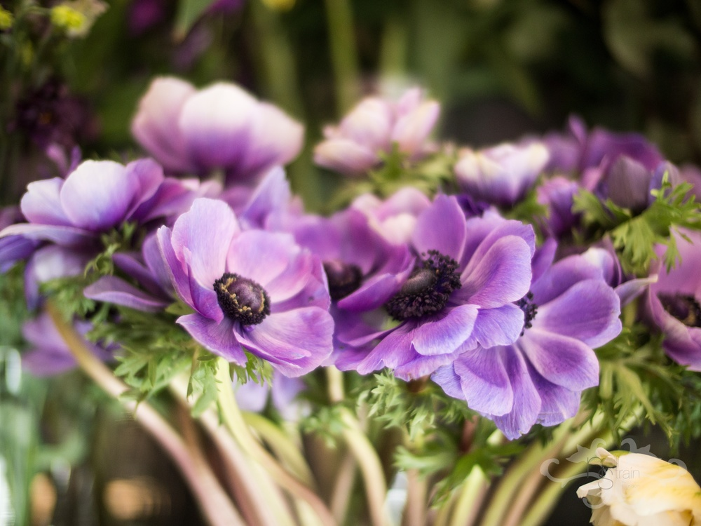 Anemone Blue, one of the many gorgeous coloured Anemones; a true delight for spring.