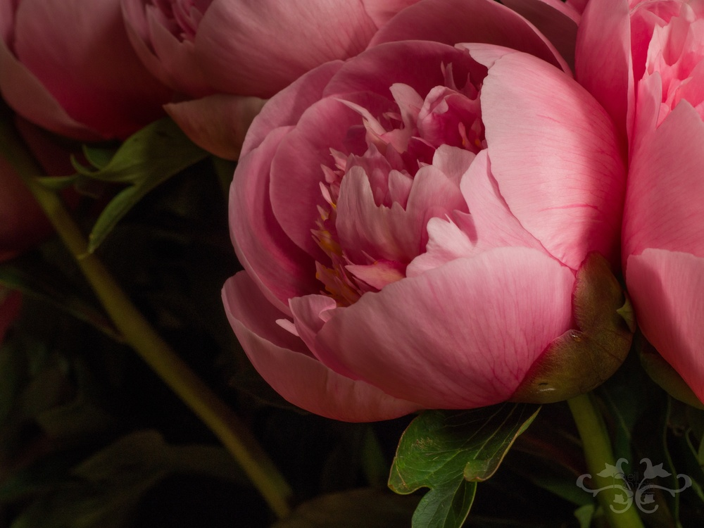 "Peony ""Etched Salmon,"" Herbaceous hybrid created in 1981, double.  Photography: John Nassari."