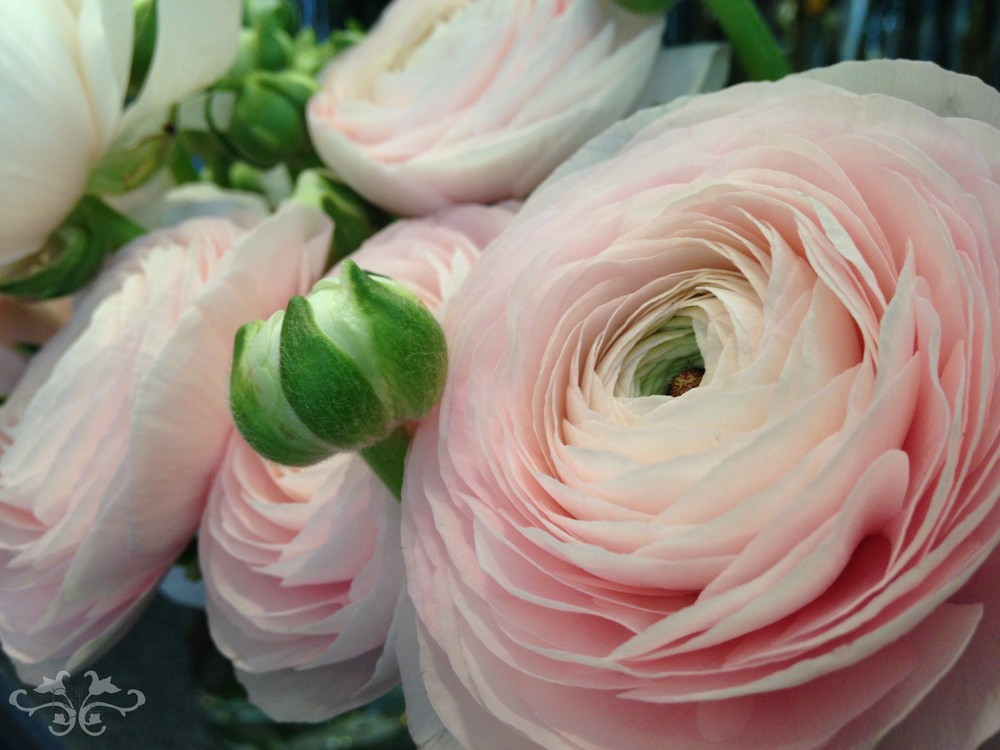 Ranunculus are available in many colours beyond pink: fuscia, yellow, white, red, orange, bordeaux...