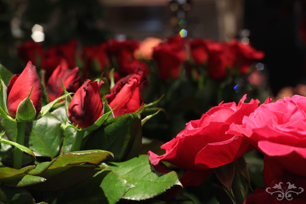 Ecstasy scented Rose.jpg