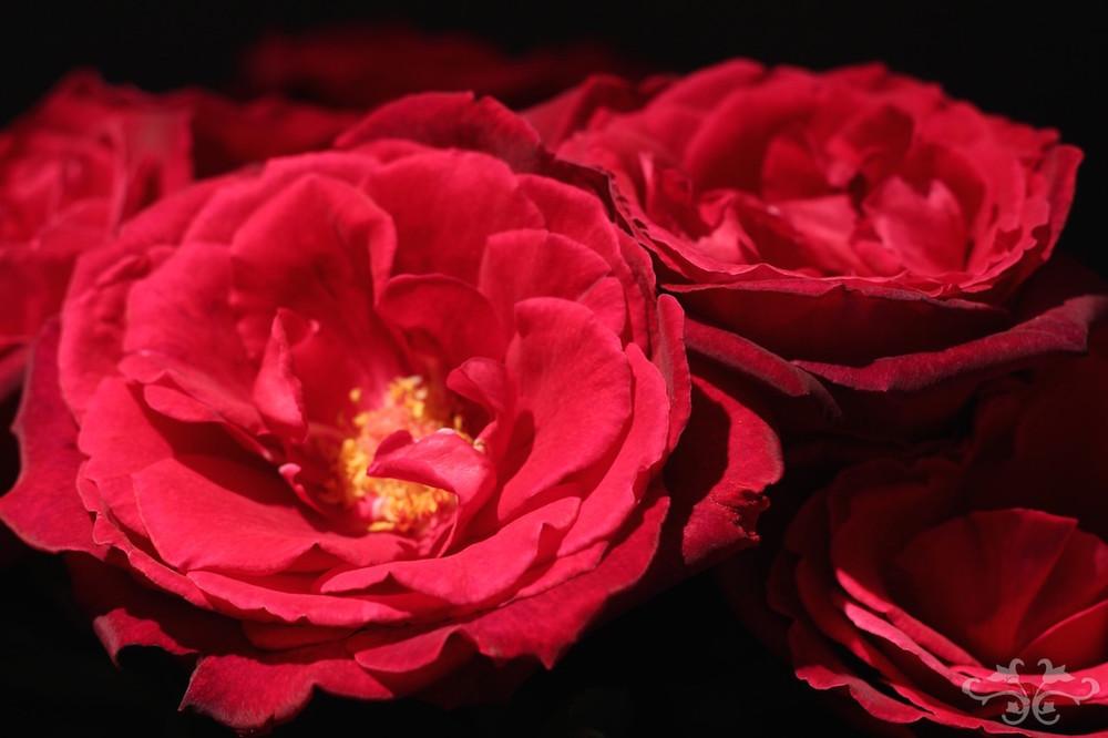 Ecstasy Rose.jpg