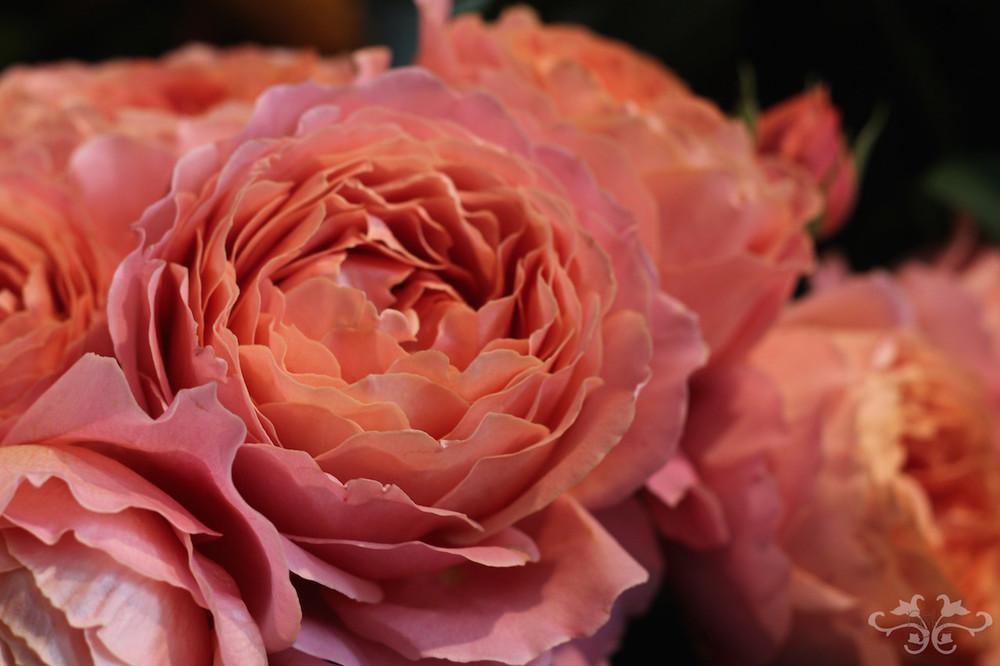 Extraordinary Roses.jpg