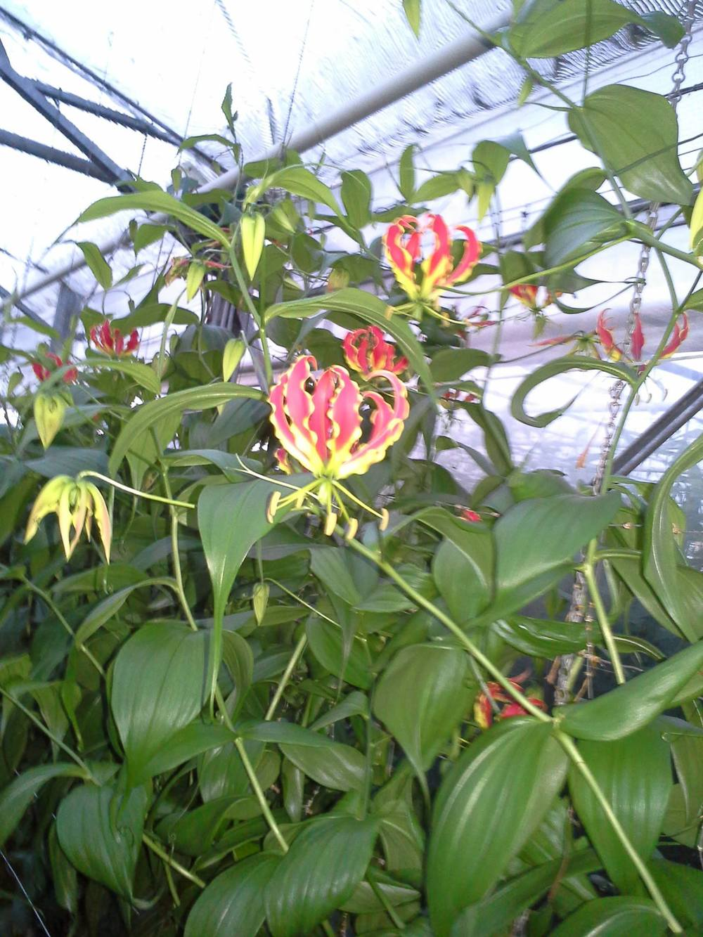 Gloriosa growing for Neill Strain.jpg