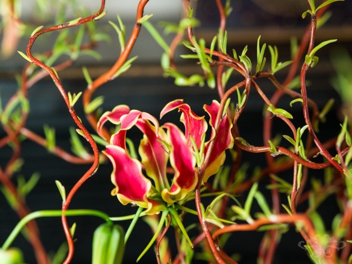 Tiny new shoots on the Contorted Willow repeat some of the colour and form of the Gloriosa flowers creating harmony and movement in the design