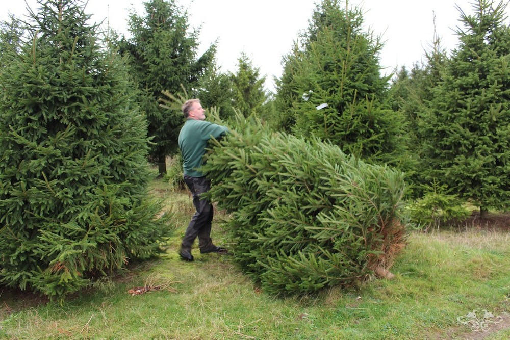 Neill Strain Christmas tree sourcing.jpg