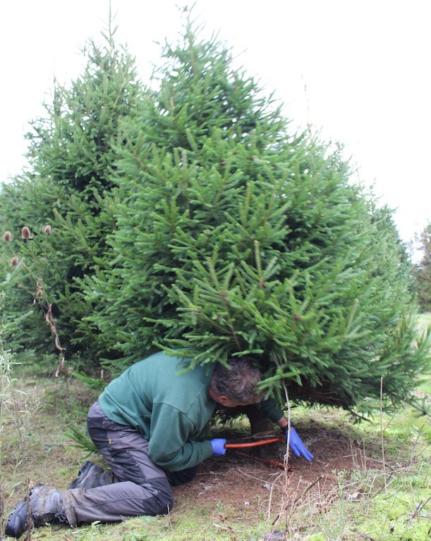 Neill Strain cutting down Christmas tree2.jpg