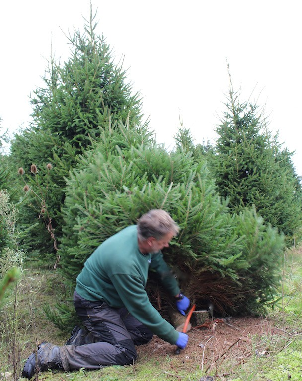 Neill Strain cutting down Christmas tree3.jpg