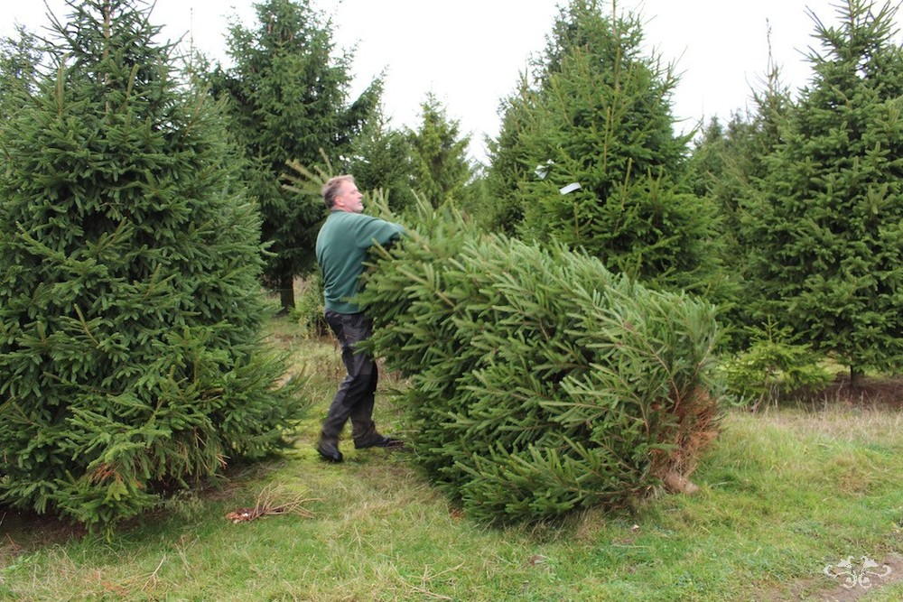 Neill Strain cutting down Christmas tree4.jpg