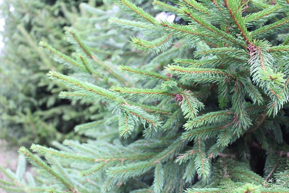 Premium quality Christmas Trees sourced by Neill Strain at Yattendon, Berkshire