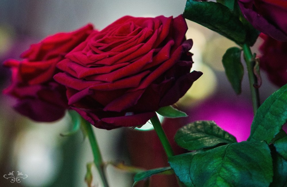 The finest red Rose variety on the market today is called Red Naomi, created by the Dutch breeder Schreurs.  Renowned growers Porta Nova and Van der Drift produce the highest quality of this exceptional Rose.