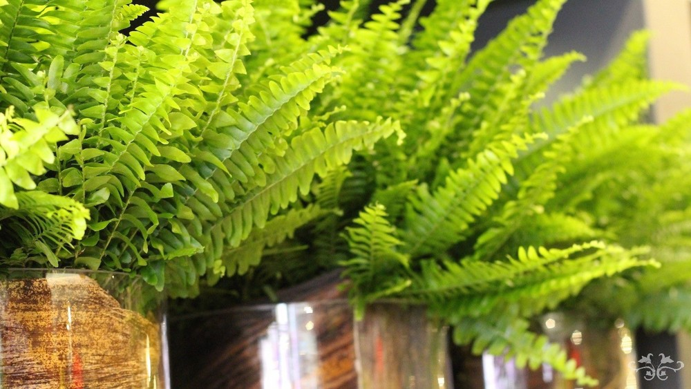 Ferns are one of the most efficient natural filters for purifying the air