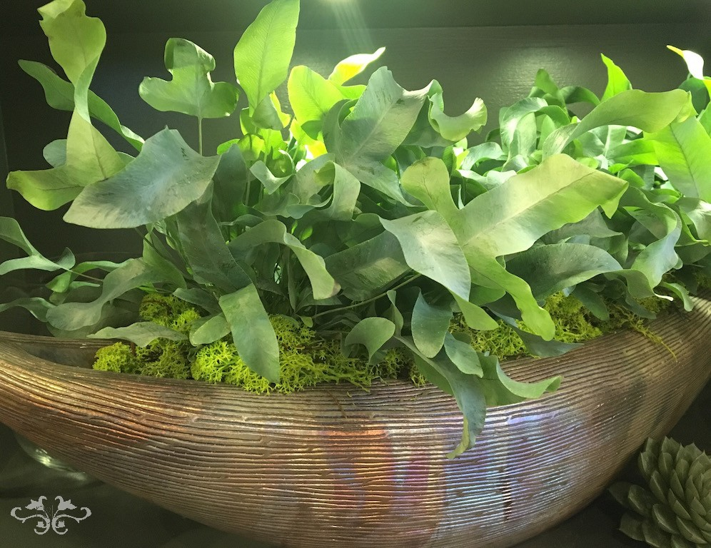 Phlebodium, in one of our luxury, hand-made containers, is an epiphytic fern renowned for herbal medicine and helps reduce formaldehyde and xylene in the air.