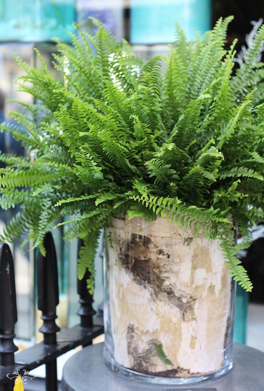 Neill Strain fern houseplant attractively decorated with Birch bark in a glass container
