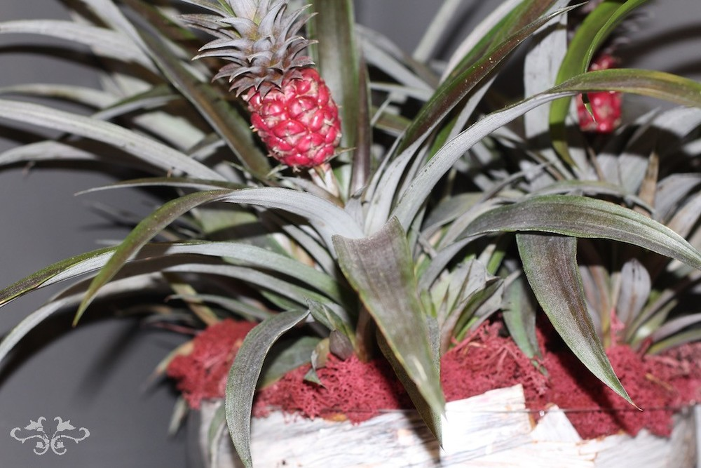 Ananas plants surprise you with their miniature pineapples. Also available with variegated leaves.
