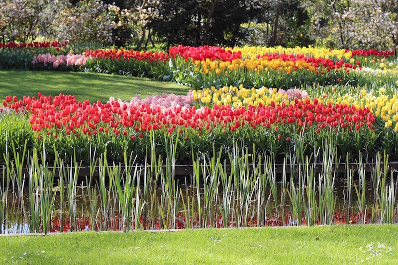 Neill Strain tulip varieties for Belgravia.jpg