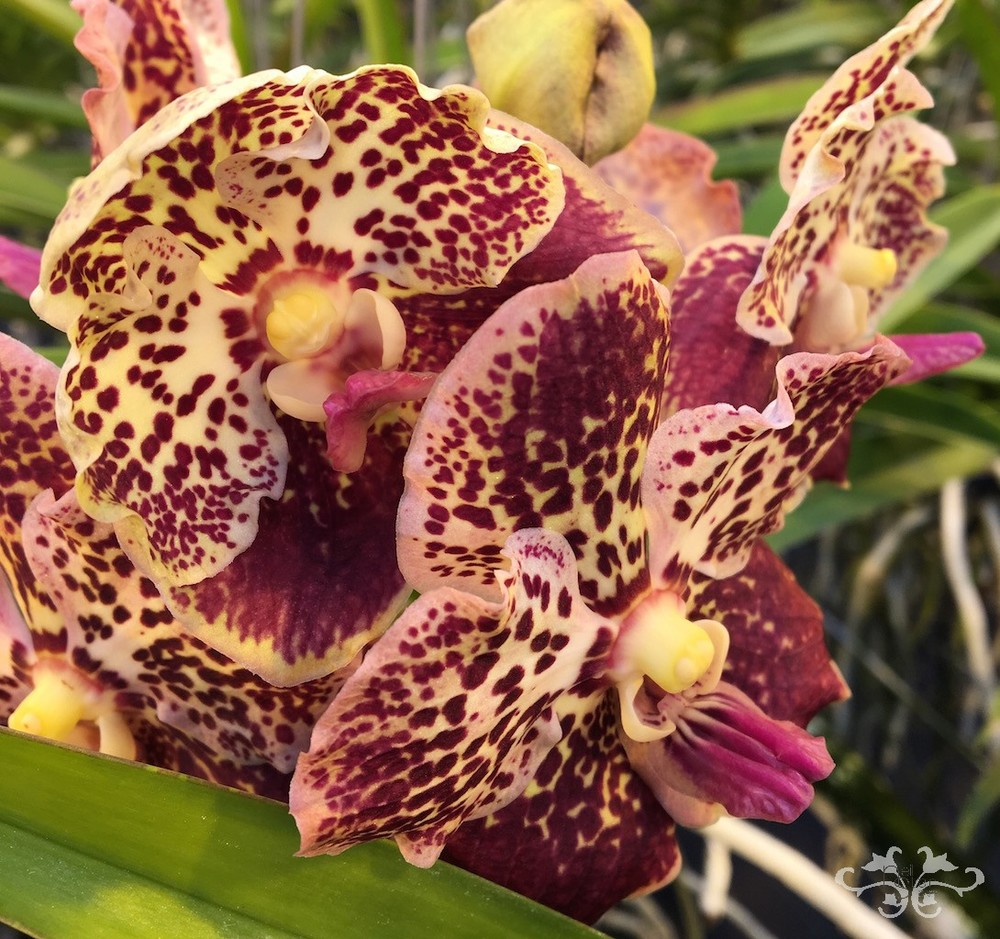 Vanda Orchids from ANCO Pure Vandas available in London at Neill Strain Floral Couture