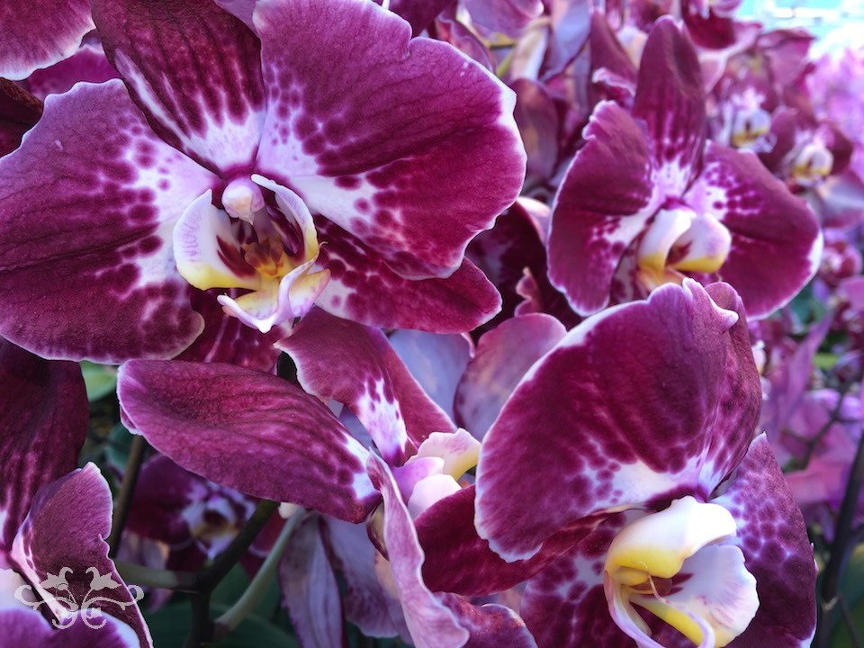 "A new variety of Phalaenopsis Orchids ""Margarita"" with incredibly rich, textured colours"