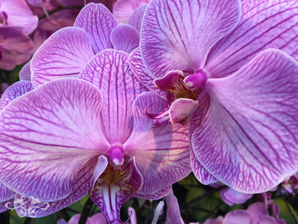 "Gorgeously veined Phalaenopsis Orchid ""Zoe Felix"" at Ichtus Flowers, Holland"