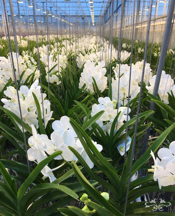 White Vanda Orchids are a dream for weddings... they don't bruise and they remain in perfect condition out of water for buttonholes and corsages.