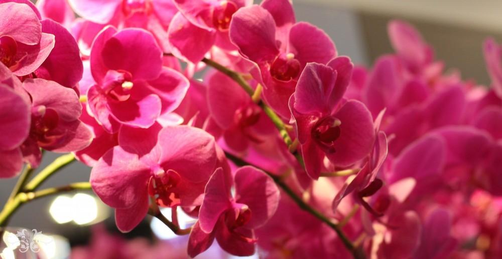 Belgravia Orchids Neill Strain