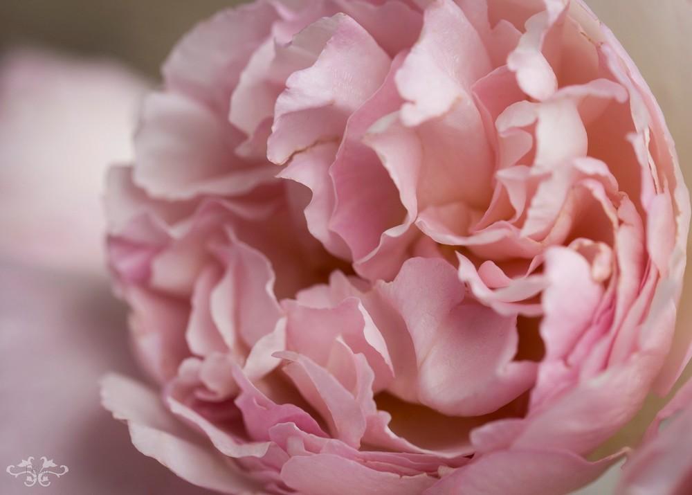 Blush_Pink_V7A2203.jpg