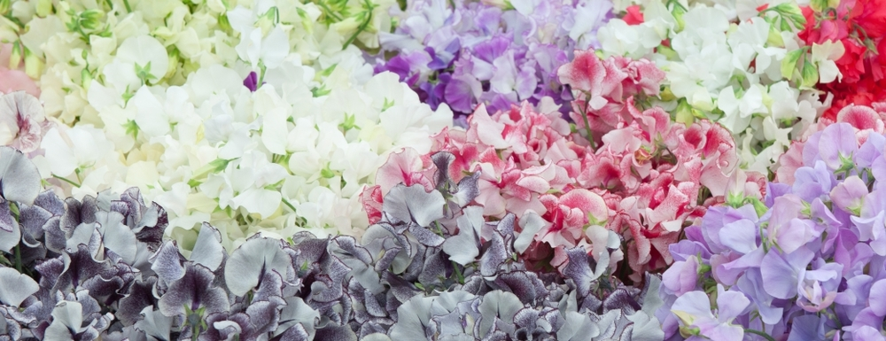 Lathyrus commonly known as Sweet Peas are one of the summer's most intensely scented flowers