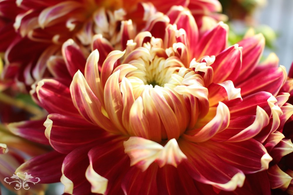 Neill Strain Dahlias for Thanksgiving.jpg