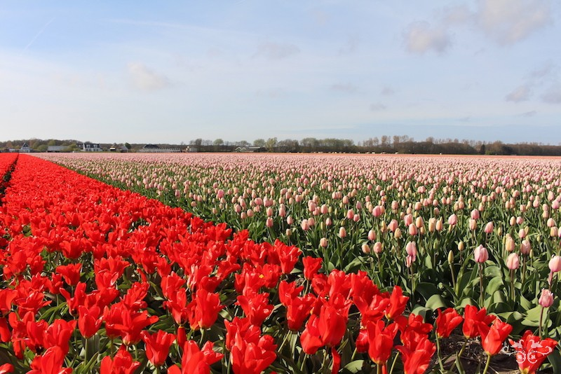 The bulb fields in Holland visited by Neill Strain and his team during a flower sourcing trip.