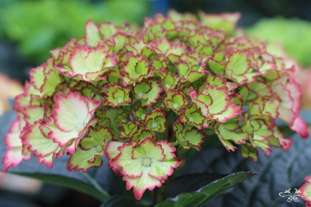 Neill Strain rare Hydrangeas Belgravia