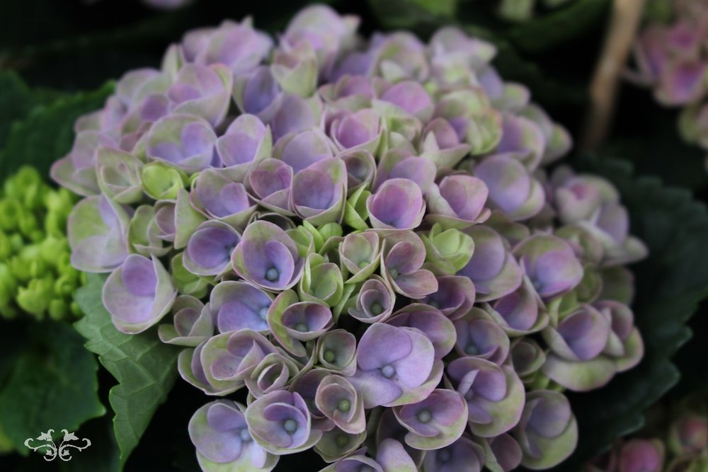 extraordanary Hydrangeas Neill Strain Floral Couture London