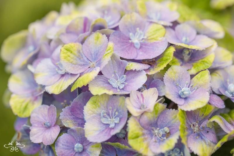 Hydrangea Macr Magical Amethyst Blue.jpg