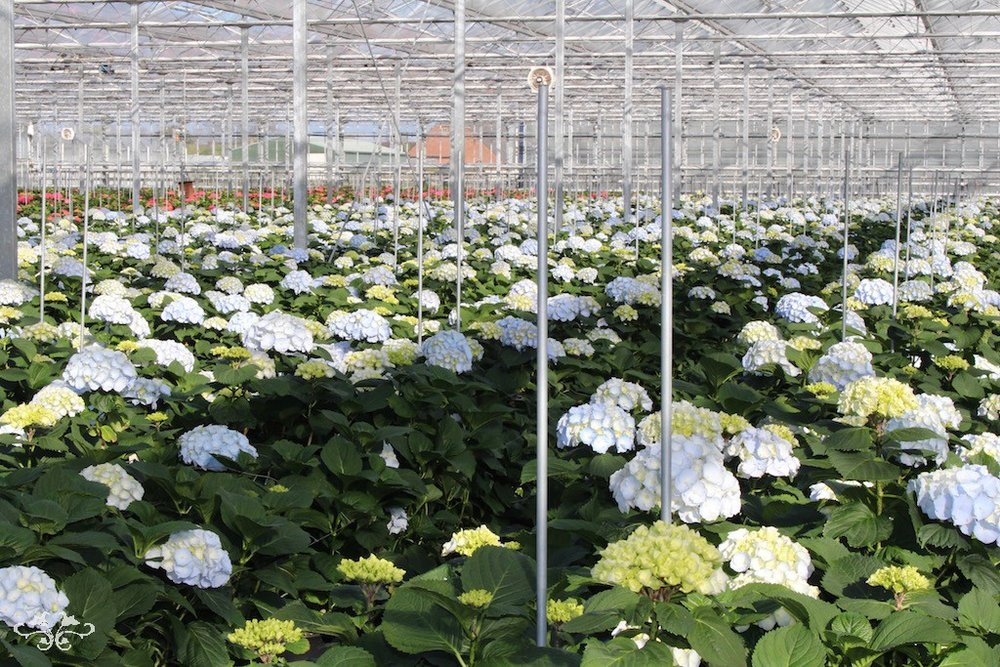 Neill Strain Dutch Hydrangeas