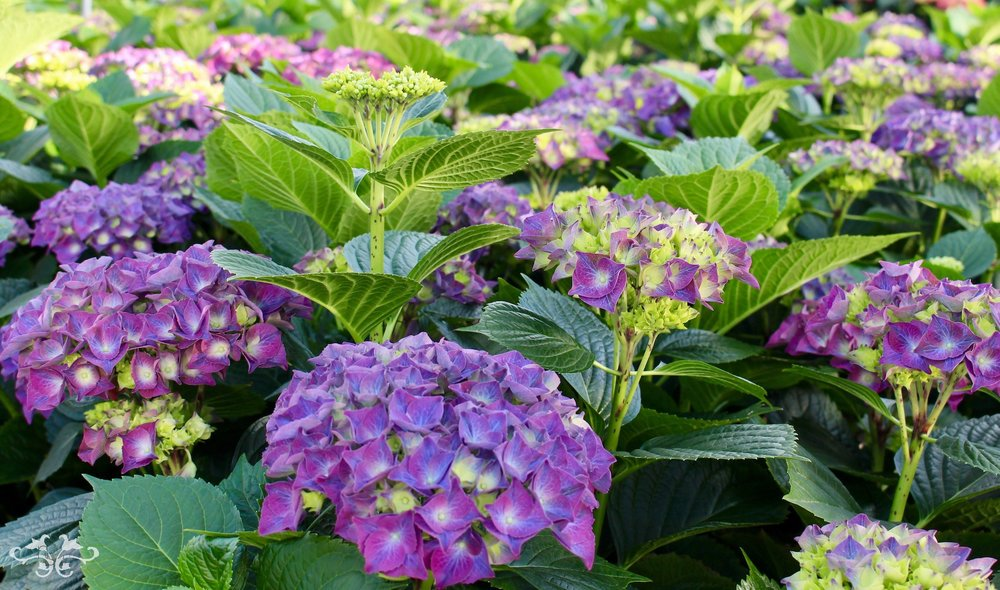 Neill Strain purple Hydrangeas Belgravia Knightsbridge