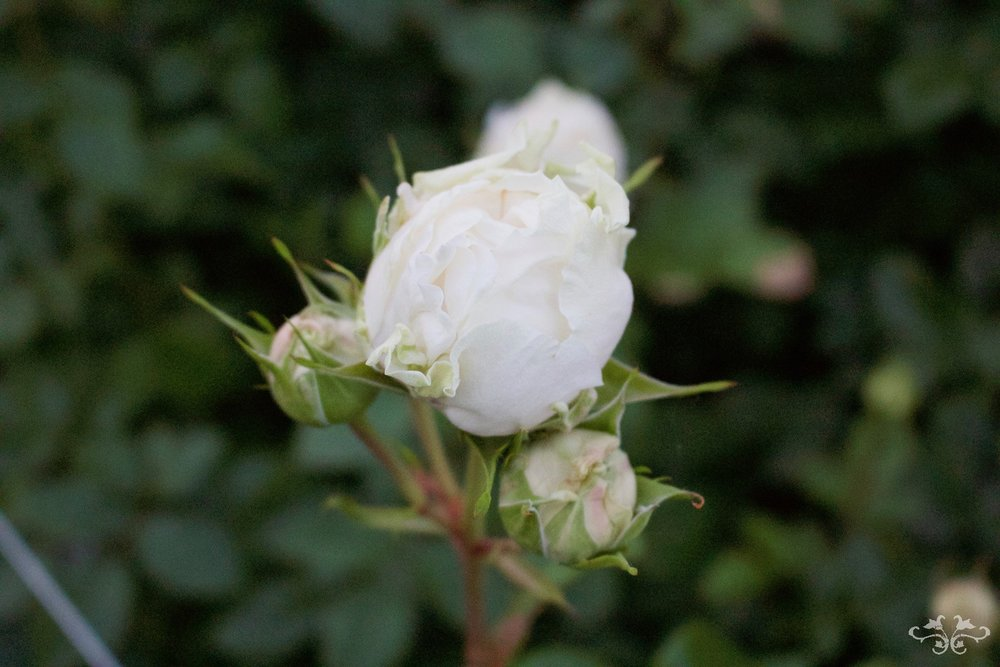 The Belgravia Rose growing as a Spray Rose