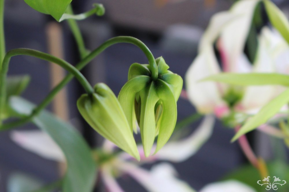 "White Gloriosa ""Maria"" in bud, with the petals facing downwards"