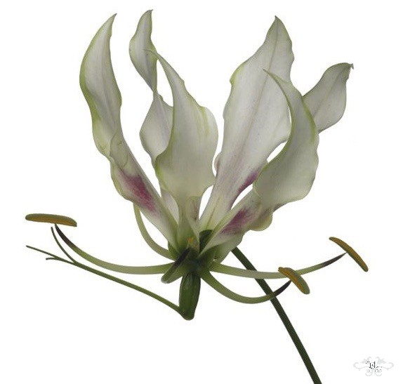 """MARIA"" WHITE GLORIOSA by NEILL STRAIN FLORAL COUTURE for HARRODS"
