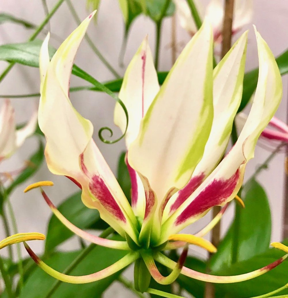 """Maria"" White Gloriosa showing tentacle which attaches onto a support for stability as the plant grows up to 3m tall"