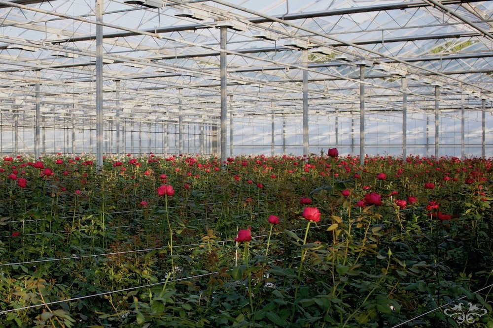 Garden Roses growing at Sassen Brothers' VIP ROSES glasshouses