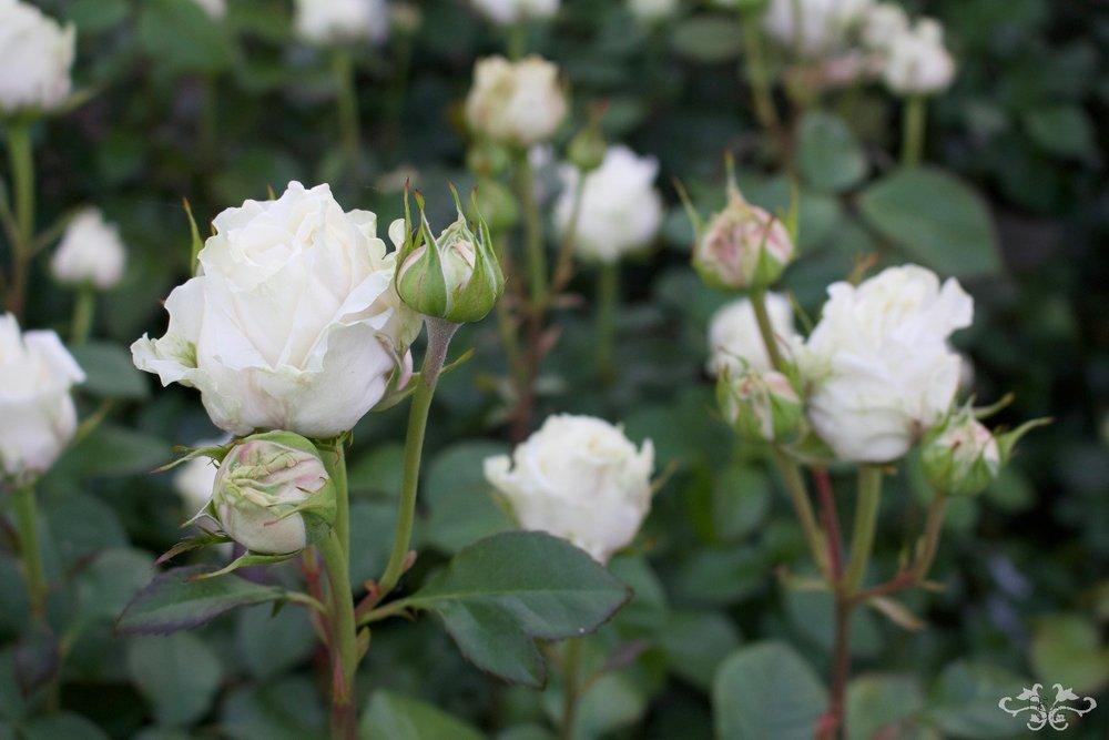 Belgravia Rose IMG_9389.jpg