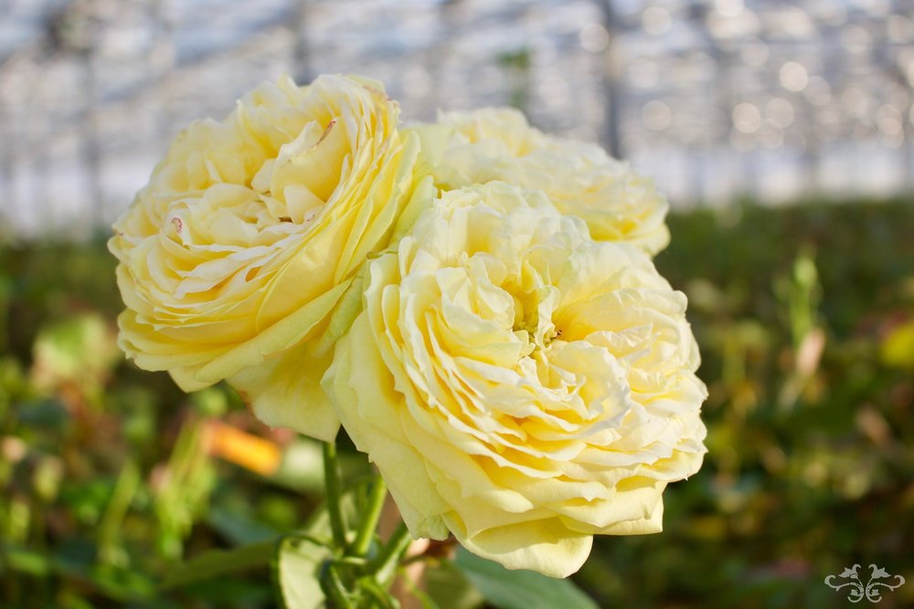 Hyde Park starts pale with a minor grass heart and opens into a full yellow, classic Garden Rose