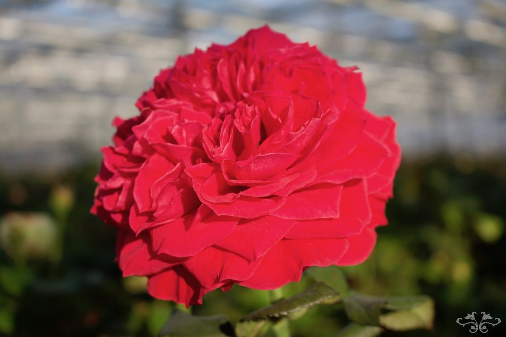 An impressive petal-packed garden-shaped Rose named after St. James' Park.