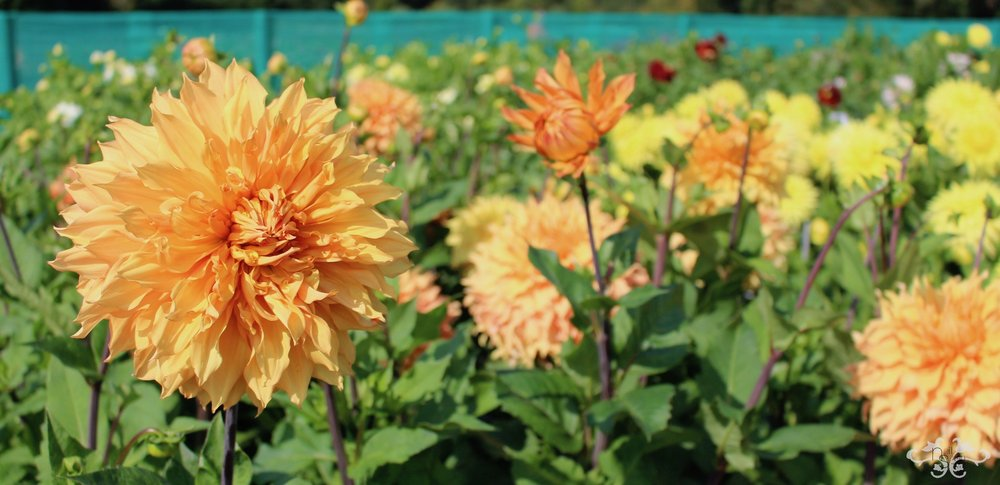 """Hamari Gold"" Giant Decorative Dahlia"