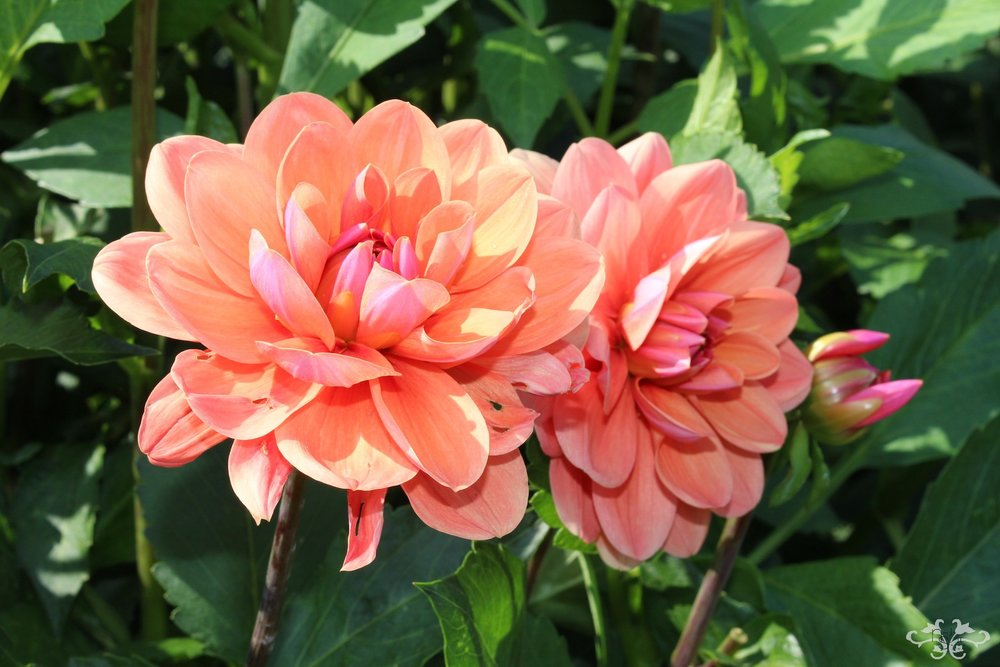 """Geerlings's Cupido"" Waterlily type Dahlia"