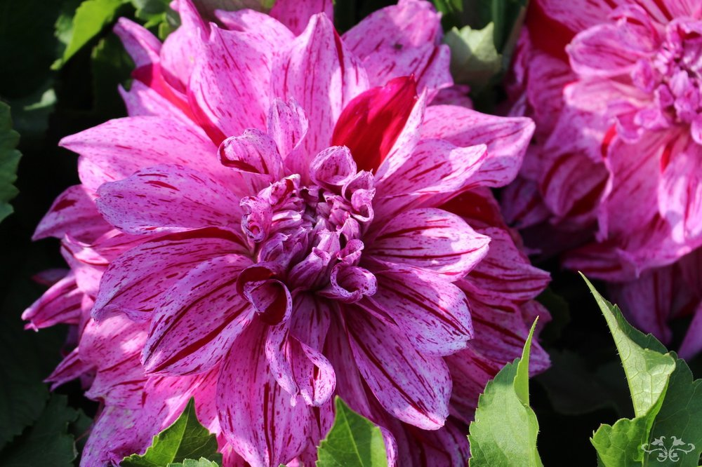 """Alpen Pauline"" Decorative Dahlia"