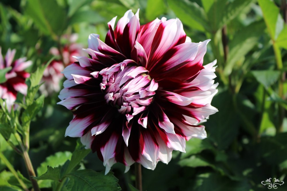 """Kazusa Shiranami"" Decorative Dahlia"