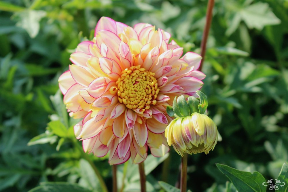 """Polka"" Waterlily Dahlia"