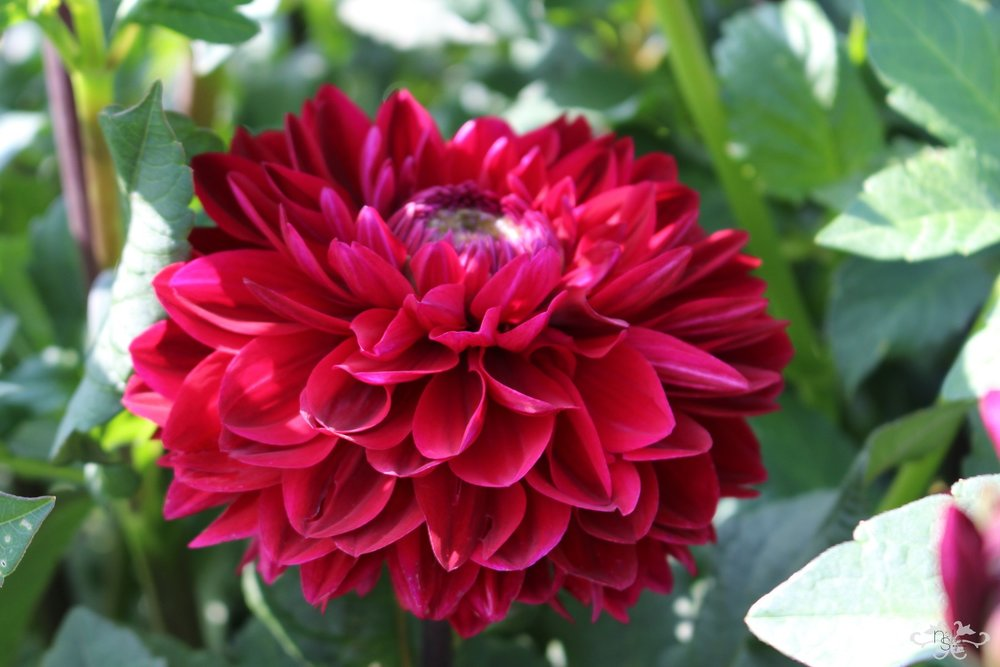 """Jose-Maria"" Waterlily Dahlia"